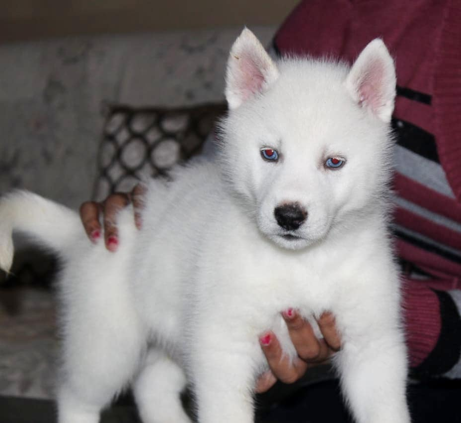 Welcome To Royal Squad Kennel Best Dog Breader In India